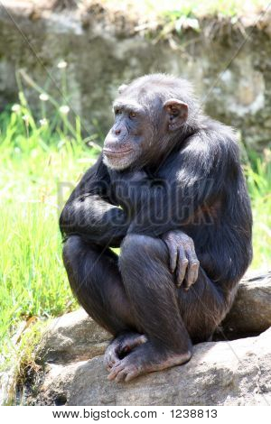 Young Chimpanzee Seated