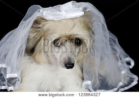Portrait of a sad Chinese Crested dog (Powderpuff variety) wearing a bridal veil isolated on black