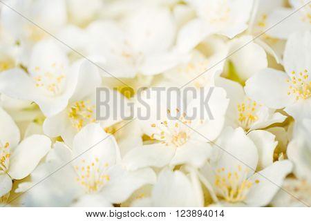Seamless background of white jasmine flowers, macro image ** Note: Shallow depth of field