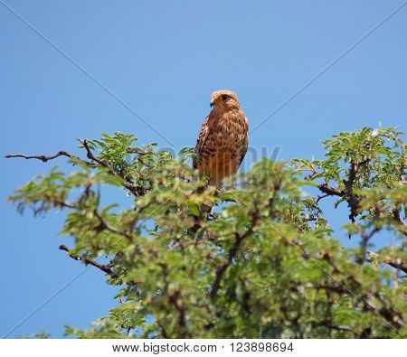 A juvenile Rock Kestrel perched at the top of a tree South Africa