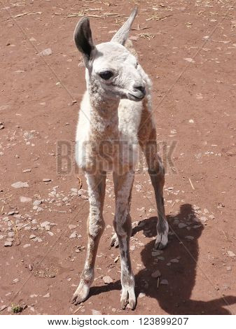A cute white baby llama standing on its own