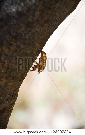 On the island of Crete (Greece) contain a large number of cicadas
