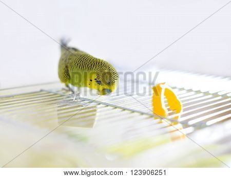Funny budgerigar on the birdcage. Green Budgie