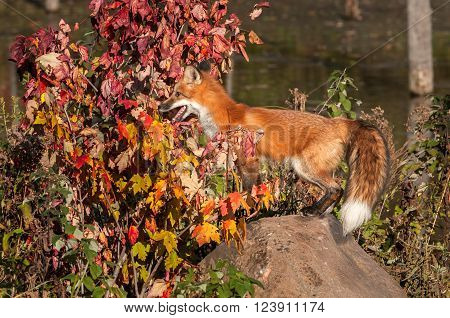 Red Fox (Vulpes vulpes) Stands on Rock - captive animal