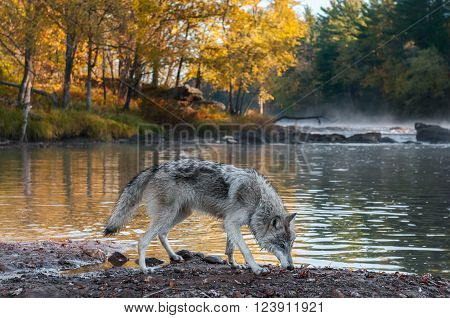 Grey Wolf (Canis lupus) Sniffs Along Riverbank - captive animal