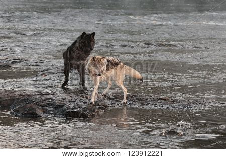 Grey Wolves (Canis lupus) Turn to Look at Splash - captive animals