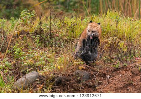 Red Fox (Vulpes vulpes) Fights With Silver Fox - captive animals