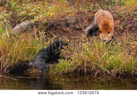 Red Fox (Vulpes vulpes) Threatens Silver Fox - captive animals