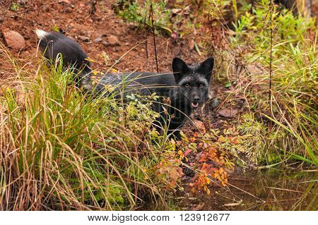 Silver Fox (Vulpes vulpes) Gazes Out from Shoreline - captive animal