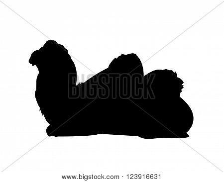 Dromedary Camel Silhouette (Black) on White Background