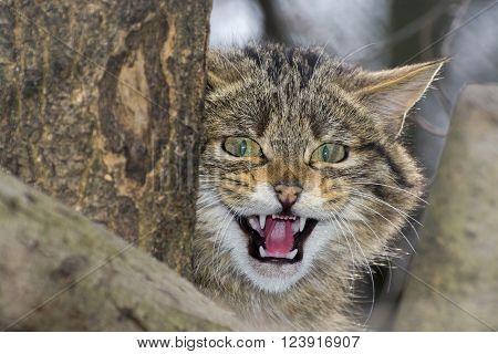 European Wild Cat