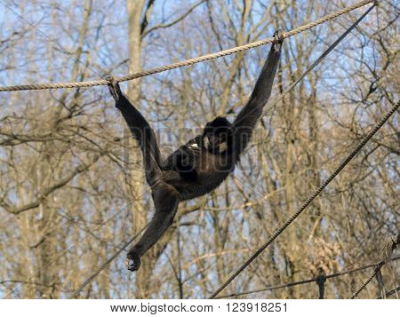 Male yellow-cheeked gibbon (Nomascus gabriellae) on a tree