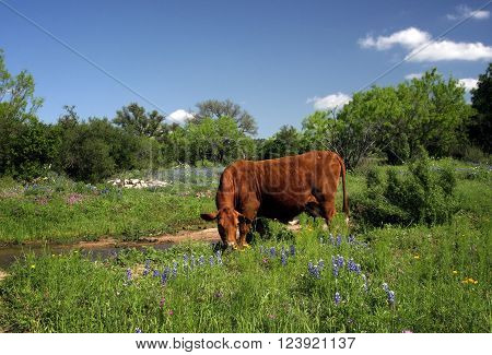 Brown cow grazes in a pasture of central Texas among the bluebonnets and other spring wildflowers