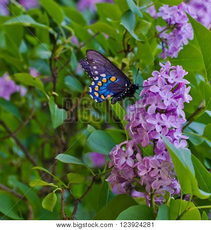 BLACK SWALLOWTAIL BUTTERFLY ON LILACS IN BRIDGEPORT CALIFORNIA
