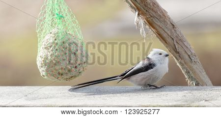 Long tailed tit bird sitting on a branch eating bird feed