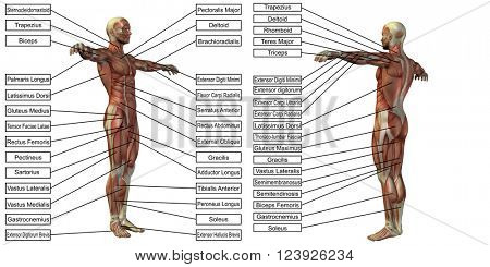 Concept or conceptual 3D human man anatomy and muscle text isolated on white background