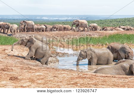 A young elephant trying to get out of a muddy waterhole