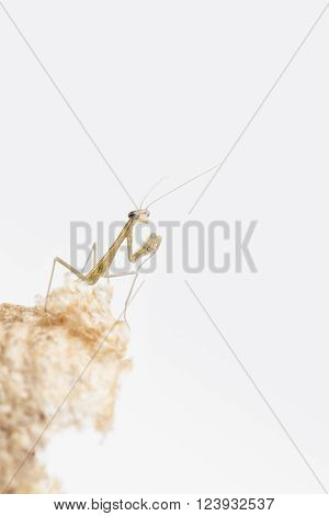 Close up of praying mantis nymph on damaged egg case with copy space and white background.
