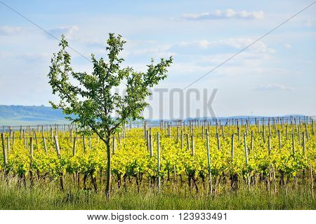 Single bush over a background of  vineyards in Germany, Pfalz