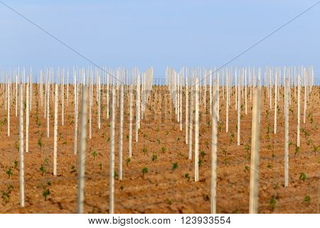 Young Wine Crops On A Field In Germany, Pfalz