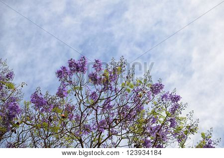 Blooming with purple flowers tree branches against blue-white sky