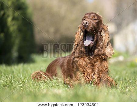 Funny Irish Setter dog yawning in the grass