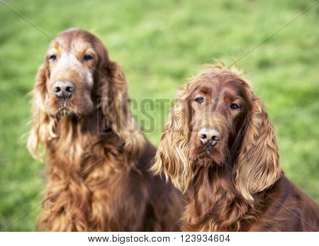 Cute Irish Setter couple looking at the camera ** Note: Soft Focus at 100%, best at smaller sizes