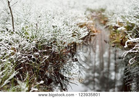 First snow in a forest swamp. Snow-covered grass and mosses reflecting in water.