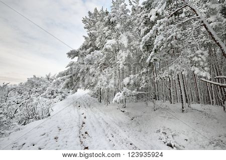 Road through snow covered pine forest in Latvia