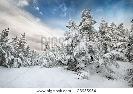 Winter wonderland in a snow covered pine forest. Latvia