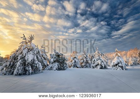 Snow covered winter pine forest in Latvia