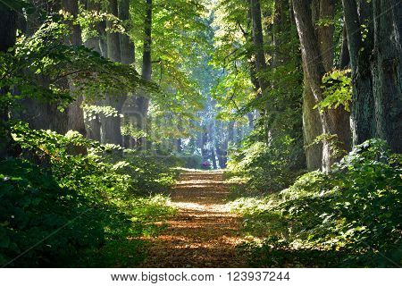 Footpath through a beautiful deciduous summer forest