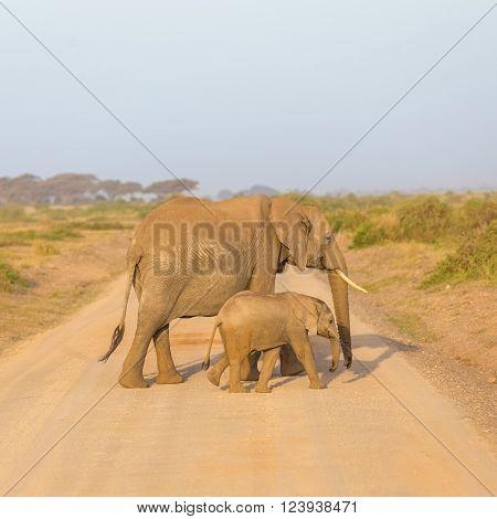 Female elephant with her calf crossing dirt road in Amboseli national park in Kenya, Africa.