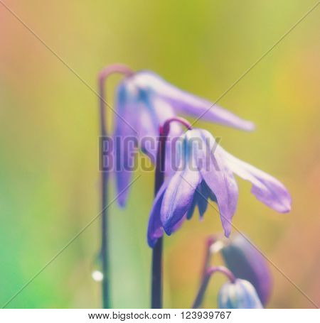 Siberian Squill with bright colorful background with room for copy