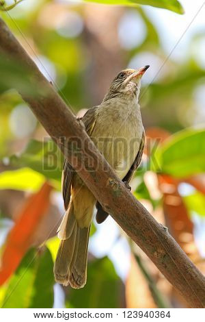 Streak-eared bulbul bird perching on tree branch in the garden during the summer in Thailand, Asia. They have brownish feathers, whitish streaked ears with pale gray eyes.