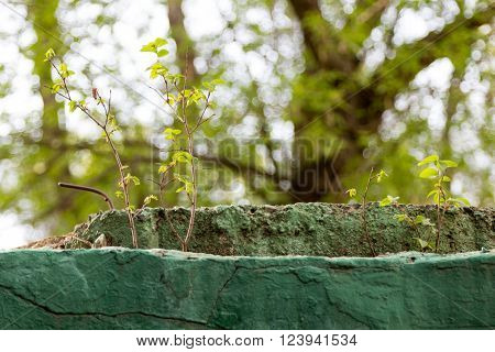 elm young shoots grow from the old concrete structure