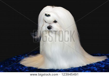 Maltese on dark. The Maltese is on dark gray background.