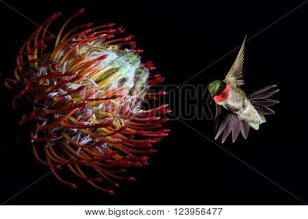 Ruby-throated hummingbird feeding from beautiful tropical flower