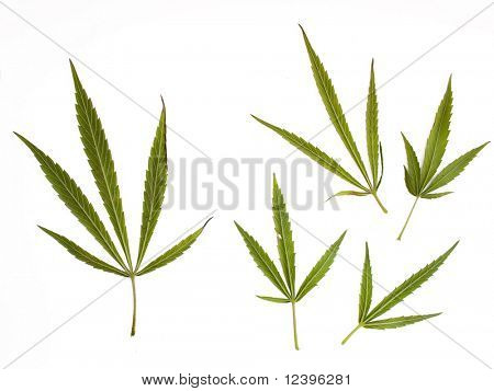 marijuana leaves on  white background
