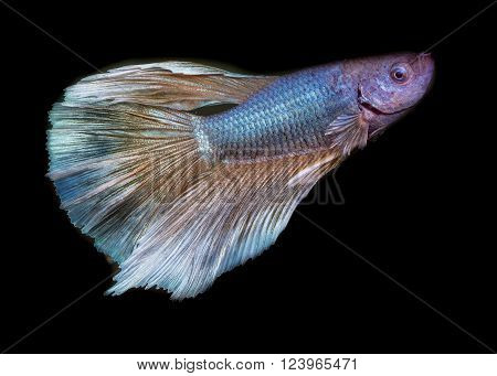 Colorful of siamese fighting fish , Betta fish, siamese fighting fish, betta splendens (Halfmoon betta )isolated on black background