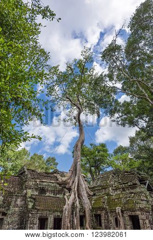 Huge Tree Growing Over Ancient Temple
