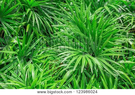 papyrus green leaf abstract background, alternifolius plant