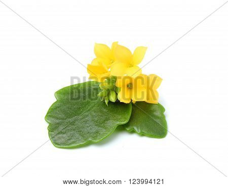 Flowers and leaves of Kalanchoe isolated on a white background.