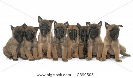 puppies belgian shepherd malinois in front of white background