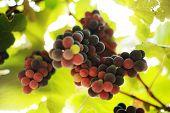 Постер, плакат: Виноград на виноградной лозы