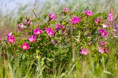 Постер, плакат: Wild Rose On Coastal Meadows The Summer Solstice