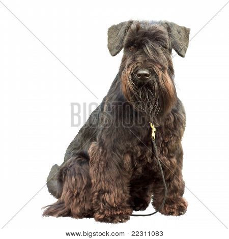 Portrait Of A Thoroughbred Dog Black Miniature Schnauzer