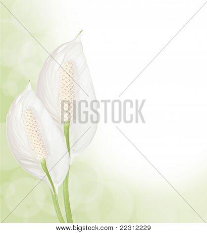 Spathiphyllum Background