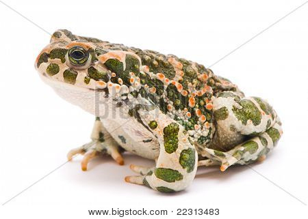 Bufo viridis. Green toad on white background.