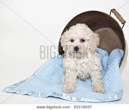 Malti-poo dulce cachorro